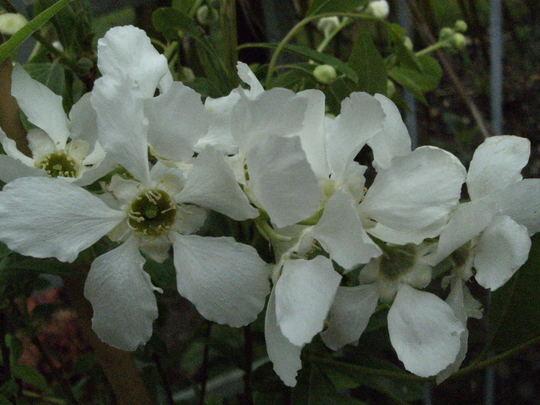 Exochorda '  The Bride '  (Exochorda x macrantha (Pearl bush))