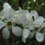 Exochorda '  The Bride '  (Exochorda x macrantha (Pearl bush))