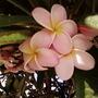Delicate Pink Frangipani
