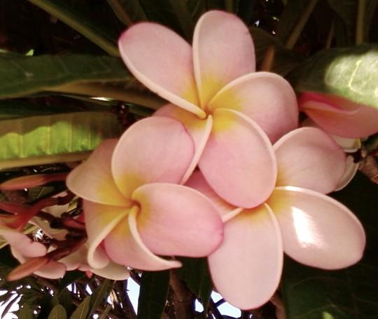 Delicate Pink Frangipani (cropped)