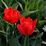 Tulipa gesneriana 'Abba'