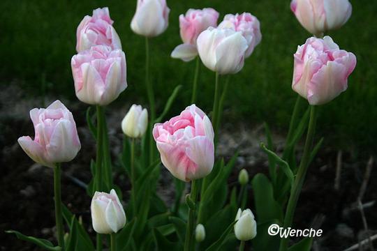 Tulipa gesneriana 'Angelique' (Tulipa gesneriana 'Angelique')