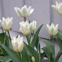 Tulipafosterianapurissima2