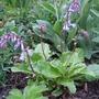 Wulfenia x schwarzii plant (Wulfenia x schwarzii)
