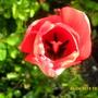 Inside_tulip