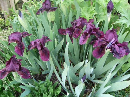 Irises full out (Iris)