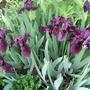Irises_full_out