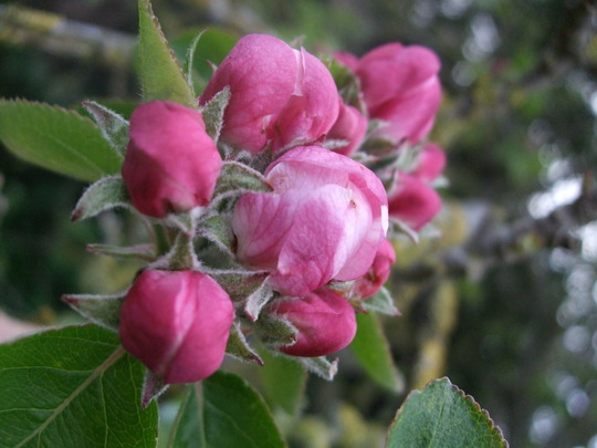 Apple blossom (Malus)