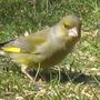 Green finch :-)