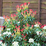 Forest Flame (Pieris)