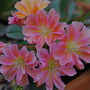 Lewisia..... (Lewisia cotyledon (read more here))