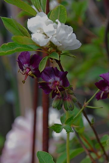 Exochorda Macrantha with Hardy Geranium.....For Spritz!! (Exochorda x macrantha)