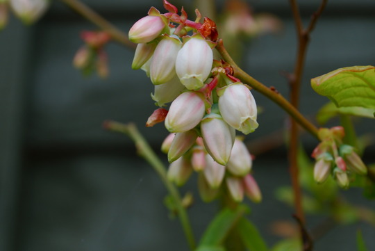 Blueberry in flower...... (Vaccinium corymbosum (Blueberry))
