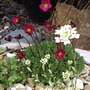 "Saxifrage ""Peter Pan"" and Arabis ""Old Gold"""