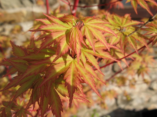 Acer Sangokaku first leaves coming out (acer)