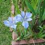 Little_boy_blue_lai