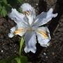 Iris_japonica_ledger_s_variety_