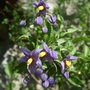 Solanum crispum (Chilean potato tree)'Glasnevin'