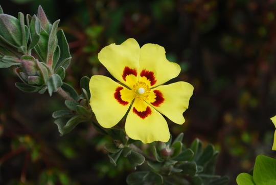 Cistus.... (Cistus Paunanum.)