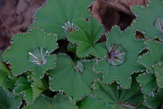 Alchemilla with rain drops........ (Alchemilla mollis (Lady's mantle))