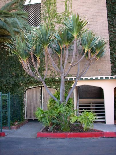 Pandanus utilis - Screw Pine (Pandanus utilis - Screw Pine)