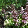 Ajuga_little_court_pink_