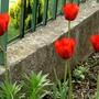 Late red tulips. (Tulipa Triumph Bastogne)