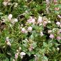 Lamium (Lamium maculatum)