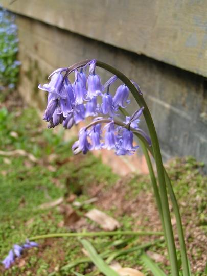 Spanish Bluebell (Hyacinthoides hispanica)