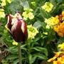 Tulip with wallflowers
