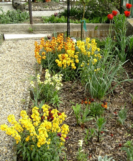 Wallflowers (Cheiranthus mixed)