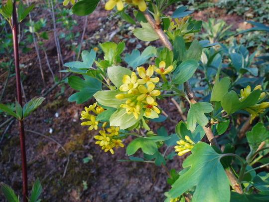 Ribes Aureum (buffalo currant) (Ribes aureum (Buffalo Currant))