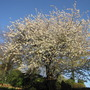 Another photo of the cherry tree.