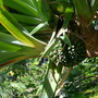 Pandanus utilis - Screw Pine, Hala  Fruit