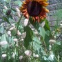 Sunflower and grasses in the border (lagularus ovatus (hare's tail grass) and helianthus anuus Velvet Queen)