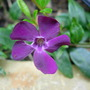 Vinca Minor Atropurpurea (Vinca Minor Atropurpurea)