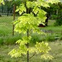 Acer platanoides (Acer platanoides (Norway maple))