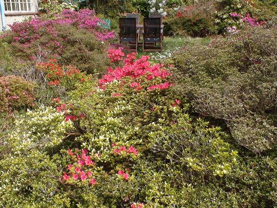 The bed of azaleas a few days on
