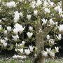 Normans' Gorgeous Magnolia