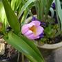 Tulipa_lilac_wonder_26.4.10