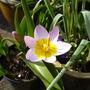 Tulip_lilac_wonder_26.4.10