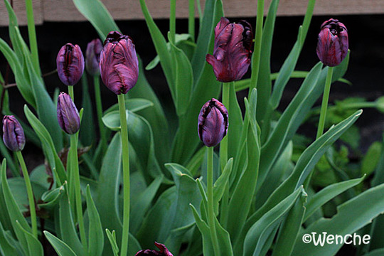 Tulipa gesneriana 'Black Parrot' (Tulipa gesneriana 'Black Parrot')