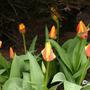 Tulipa gesneriana 'Yellow Dawn'