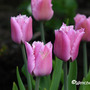 Tulipafringed2