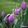 Tulipacummins2
