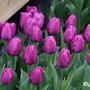 Tulipaprincecharles2