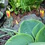 Tulipaclusianavarchrysantha