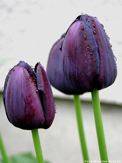 Tulipa gesneriana 'Queen of Night' (Tulipa gesneriana 'Queen of Night')