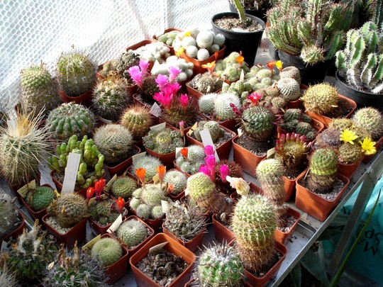 Flowering cacti 2