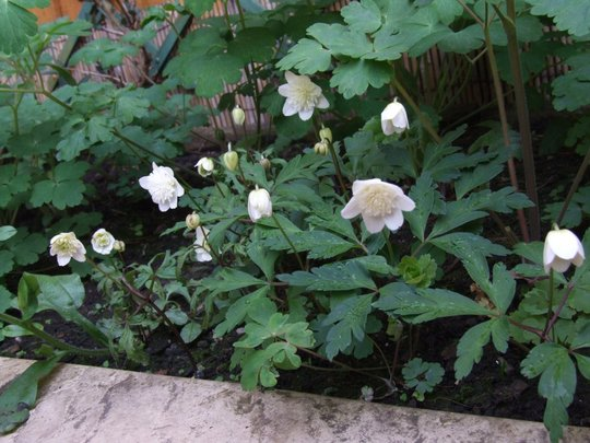 Anemone nemorosa 'Vestal' (Anemone nemorosa (Windflower))